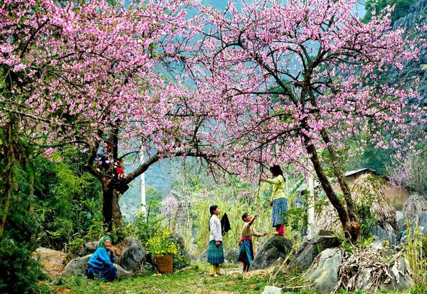 Mộc Châu - mùa hoa đào nở