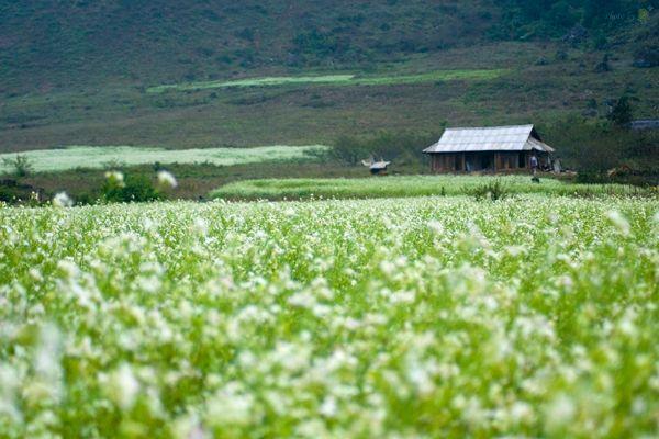 Về Mộc Châu ngắm cánh đồng hoa cải trắng
