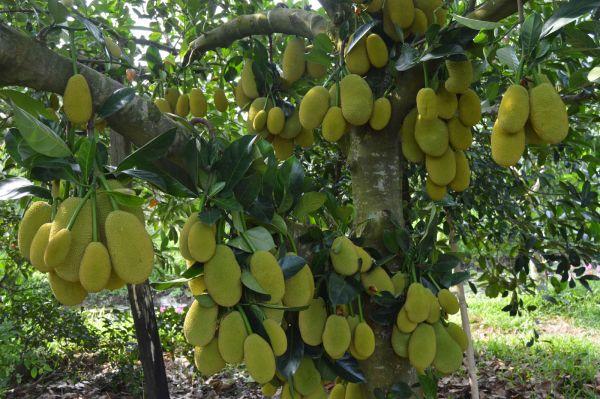 Vườn trái cây Trung An